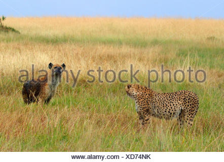 cheetah (Acinonyx jubatus), and hyena in savannah, Kenya, Masai Mara National Park - Stock Photo