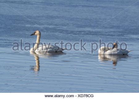 Trumpeter Swan (Cygnus buccinator) Beautiful pair of white Trumpeter Swans, preening in a blue lake. Rural, Alberta, Canada - Stock Photo