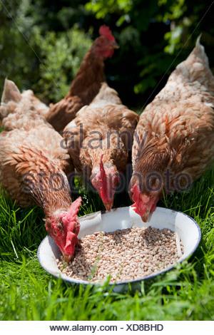 Hens eating grain - Stock Photo