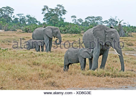 Two female African elephants grazing and suckling their babies Amboseli National Park Kenya East Africa  ELEPHANT BABY SUCKLING - Stock Photo