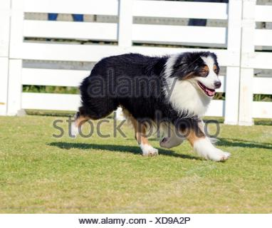 A young, healthy, beautiful, black, white and red Australian Shepherd dog walking on the grass looking very calm and adorable. Aussie dogs are very good rescue and guide dogs. - Stock Photo
