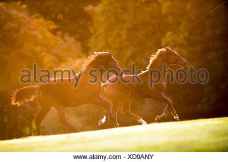 Hanoverian Horse. Two foals galloping on a pasture. Great Britain - Stock Photo