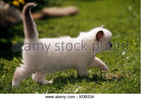 animal cat Ragdoll kitten - Stock Photo