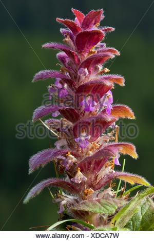 Pyramidal bugle (Ajuga pyramidalis), Aosta Valley, Italy - Stock Photo