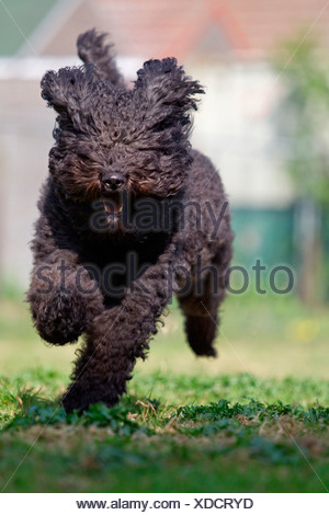 Barbet, French Water Dog. Adult running towards the camera - Stock Photo