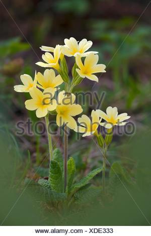 Hybrid of cowslip (Primula veris) x and primrose (Primula acaulis), very rare, Bad Ditzenbach, Swabian Alp, Baden-Wuerttemberg - Stock Photo
