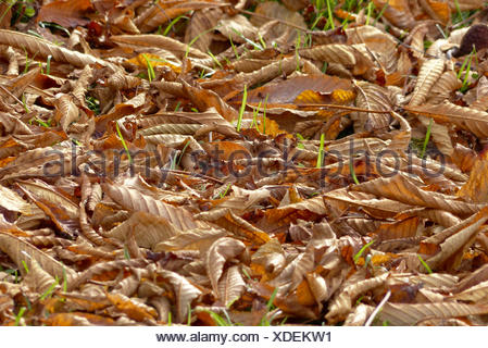 Herbstlaub am Boden,Autumn leaves on the ground,autumn, harvest, fall, leaves, foliage, beech leaves, season, colorful, detail, - Stock Photo