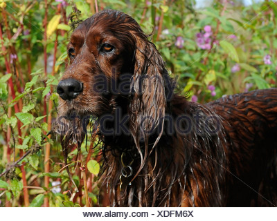 A red setter that has been swimming - Stock Photo