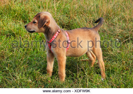 mixed breed dog (Canis lupus f. familiaris), 12 weeks old mixed breed dog stands in a meadow, Germany - Stock Photo