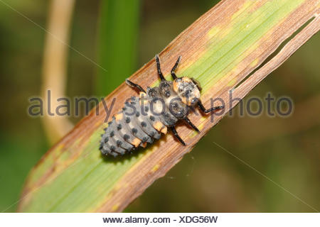 seven-spot ladybird, sevenspot ladybird, 7-spot ladybird (Coccinella septempunctata), larva, Germany - Stock Photo