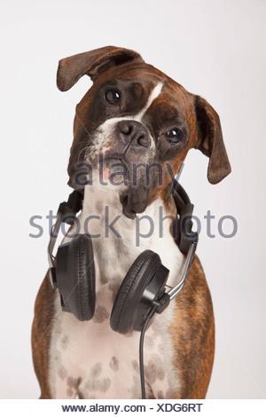 Boxer Dog With Headphones - Stock Photo