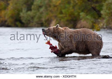 Brown bear eats a Sockeye salmon while standing in Grizzly Creek, Katmai National Park, Southwest Alaska, Summer - Stock Photo