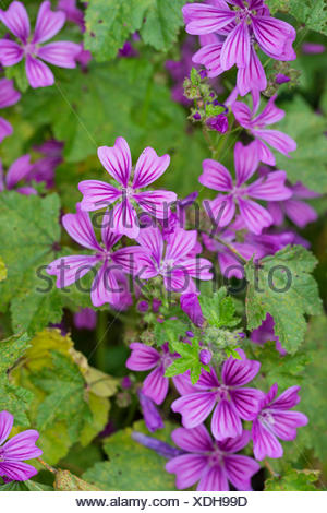 Wilde Malve (Malva sylvestris), bluehend, Deutschland | common mallow, blue mallow, high mallow, high cheeseweed (Malva sylvestr - Stock Photo