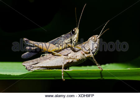 Portrait of a pair of grasshoppers mating. - Stock Photo