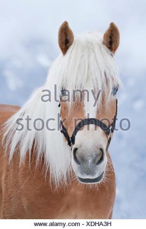 Horse (Equus ferus caballus), Haflinger, portrait - Stock Photo