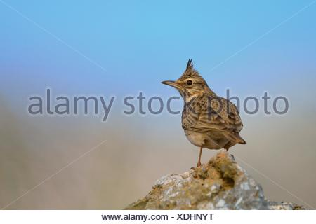 Crested Lark - Galerida cristata, Crete - Stock Photo