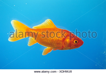 Goldfish (Carassius auratus) seen side-on - Stock Photo