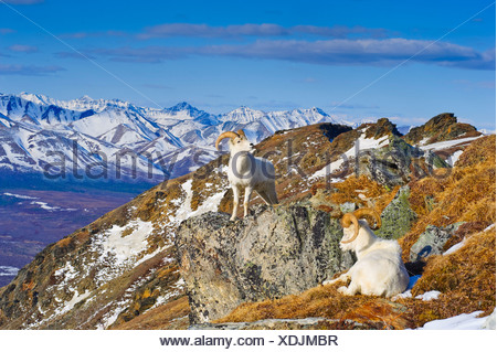 Two Dall sheep rams resting on a ridge with the Alaska Range in the background, Denali Natonal Park, Interior, Alaska, Spring - Stock Photo