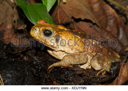 Cane toad, Bufo marinus, Amazon Rainforest, Ecuado, Costa Rica, Central America - Stock Photo