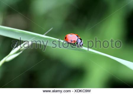 Seven Spot Ladybeetle Coccinella septempunctata on a blade of grass  It has a white collar and two white spots on head - Stock Photo