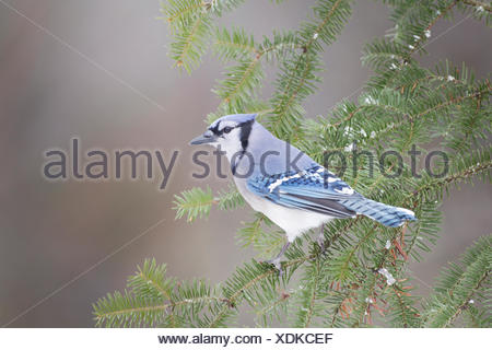 A Blue Jay (Cyanocitta cristata) perched in a coniferous tree in Algonquin Provincial Park, Ontario, Canada - Stock Photo