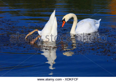 mute swan (Cygnus olor), two mute swans on the lake, Germany - Stock Photo