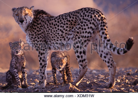 Cheetah mother and cubs Namibia - Stock Photo