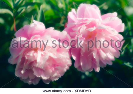 Paeonia lactiflora 'Sarah Bernhardt', Peony - Stock Photo