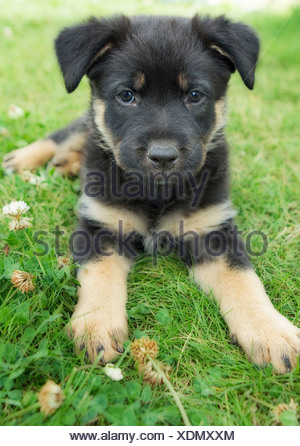 Portrait of mixed breed 8 week old puppy - Stock Photo