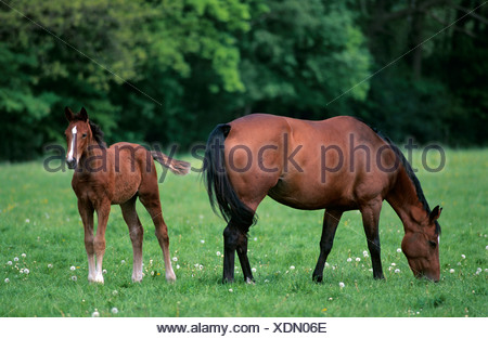 Brown mare with foal, Lower Saxony, Germany, Europe - Stock Photo