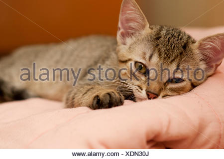 fur, small, tiny, little, short, cub, baby, sleepy, feline, brazilian, - Stock Photo
