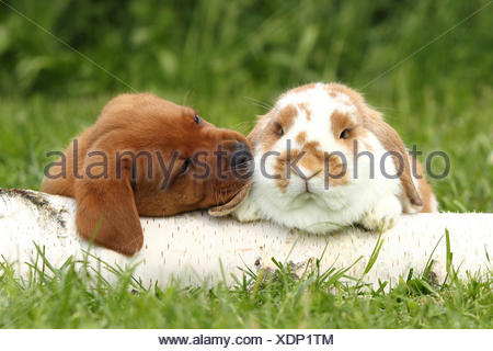 Labrador Retriever and Dwarf Lop-eared bunny. Puppy (6 weeks old) sniffing at rabbit, while lying on a birch log. Germany - Stock Photo