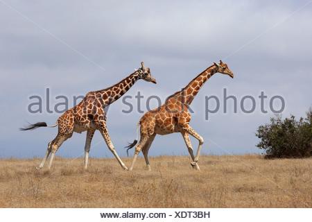reticulated giraffe (Giraffa camelopardalis reticulata), two giraffes running across the savanna, Kenya, Sweetwater Game Reserve - Stock Photo