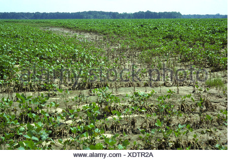 Young soyabean crop severely affected by heavy rain Mississipi USA - Stock Photo