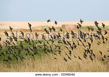 Starling Sturnus vulgaris - Stock Photo