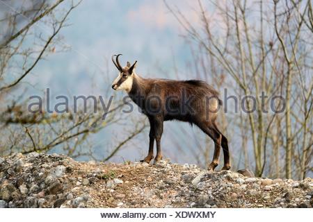 Chamois (Rupicapra rupicapra), in winter coat, standing on a rock, Canton of Schwyz, Switzerland, Europe - Stock Photo