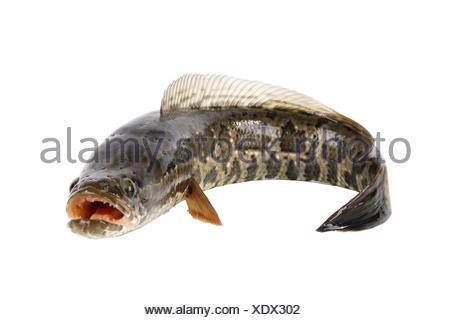 ferocious snakehead - Stock Photo