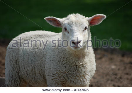 sweet animal agriculture farming field sheep wool easter spring bouncing bounces hop skipping frisks jumping jump ears wise - Stock Photo