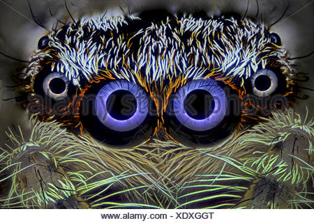 Springspinne, Spring-Spinne (Salticidae), Portraet | Jumping spider (Salticidae), portrait | BLWS418983.jpg [ (c) blickwinkel/F. - Stock Photo