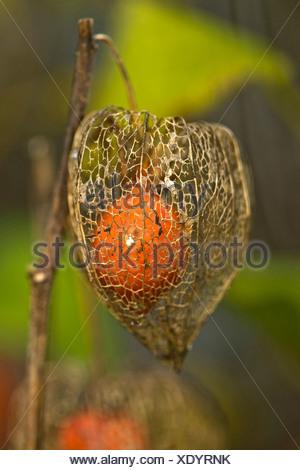 Chinese lantern, Japanese lantern, winter cherry, strawberry tomato (Physalis alkekengi var. franchetii, Physalis franchetii), fruiting - Stock Photo