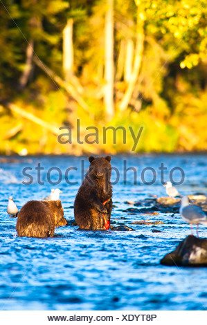 Two young brown bear cubs fishing for salmon on a late summer evening, Russian River, Kenai Penninsula in Southcentral Alaska - Stock Photo