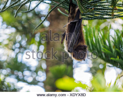 Low Angle View Of Fruit Bat Hanging From Tree - Stock Photo