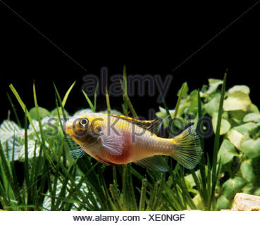 KRIBENSIS CICHLID pelmatochromis kribensis - Stock Photo