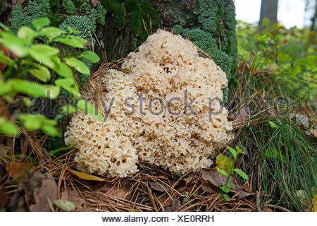 wood cauliflower, cauliflower mushroom (Sparassis crispa), at the base of a pine, Germany - Stock Photo