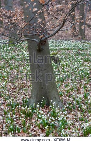 spring snowflake in beech forest, leucojum vernum, germany - Stock Photo