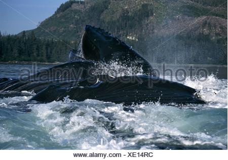 Humpback Whales lunge feeding, Frederick Sound, Southeast Alaska - Stock Photo