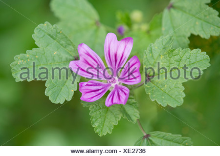 Common Mallow (Malva sylvestris), flower and leaves, Thuringia, Germany - Stock Photo