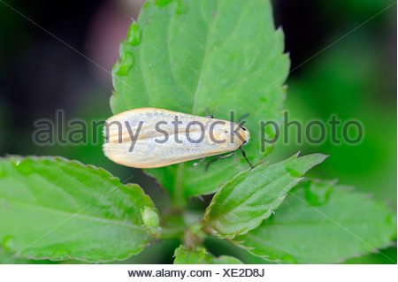 Buff Footman - Stock Photo