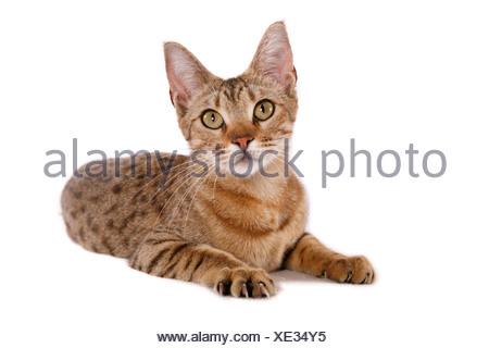 liwgwnsw Ocicat / lying Ocicat - Stock Photo