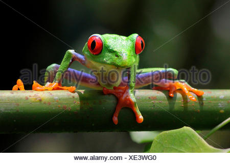 red-eyed treefrog, redeyed treefrog, redeye treefrog, red eye treefrog, red eyed frog (Agalychnis callidryas), on a branch - Stock Photo